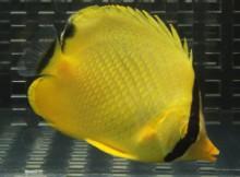 チョウチョウウオ(海水魚)
